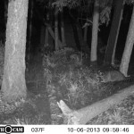 A Racoon Visitor