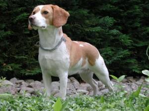 Beagle_Upsy